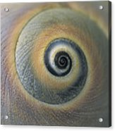 A Close View Of A Moon Snail Shell Acrylic Print