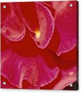 A Close View Of A Rose Acrylic Print