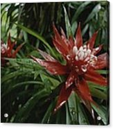A Close View Of A Tropical, Red Flower Acrylic Print