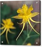 A Close View Of A Yellow Columbine Acrylic Print