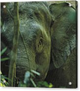 A Close View Of An Asian Elephant Acrylic Print