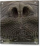 A Close View Of An Atlantic Walrus Acrylic Print by Ralph Lee Hopkins