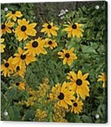 A Close View Of Black-eyed Susans Acrylic Print