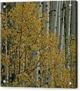 A Close View Of Quaking Aspen Trees Acrylic Print