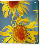 A Close View Of Two Daisies Acrylic Print