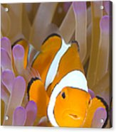 A Clown Anemonefish In A Purple Acrylic Print