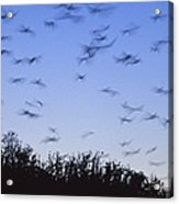 A Colony Of Vulnerable Spectacled Acrylic Print
