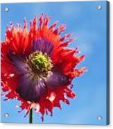A Colorful Flower With Red And Purple Acrylic Print