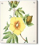 A Cotton Plant Acrylic Print