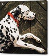A Dalmatian Sleeping On A Wooden Deck Acrylic Print