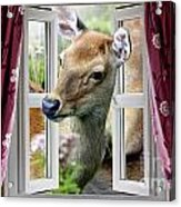 A Deer Enters The House Window. Acrylic Print