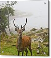 A Deer Stands In A Foggy Meadow By The Acrylic Print