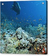 A Diver Explores Coral And Marine Life Acrylic Print