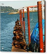 A Dock Of Sea Lions Acrylic Print by Jeff Swan