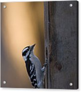 A Downy Woodpecker, Picoides Pubescens Acrylic Print
