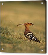 A Eurasian Hoopoe With An Insect Acrylic Print