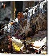 A Fallen Birch Still Claims Its Beauty Acrylic Print