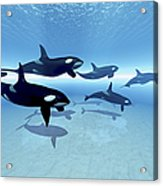 A Family Of Killer Whales Search Acrylic Print