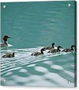 A Family Of Merganser Ducks Swim Acrylic Print