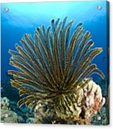 A Feather Star With Arms Extended Acrylic Print