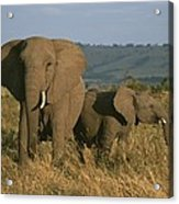 A Female Elephant With Her Baby Acrylic Print