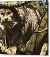 A Female Northern Lynx With Her Thick Acrylic Print