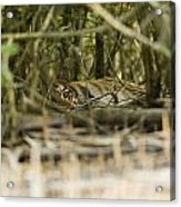 A Female Tiger Rests In The Undergrowth Acrylic Print