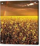 A Field Of Canola With A Rainbow Acrylic Print