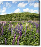 A Field Of Lupines Acrylic Print