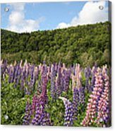 A Field Of Lupins Acrylic Print