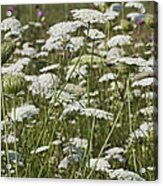 A Field Of Queen Annes Lace Acrylic Print