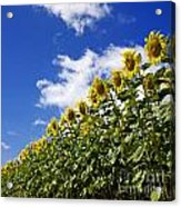 A Field Of Sunflowers . Auvergne. France Acrylic Print