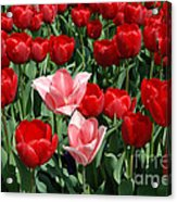 A Field Of Tulips Series 3 Acrylic Print