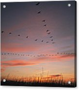 A Flock Of Common Cranes Flying Acrylic Print