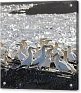 A Flock Of Gannets Standing On A Rock Acrylic Print