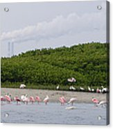 A Flock Of Juvenile And Adult Roseate Acrylic Print