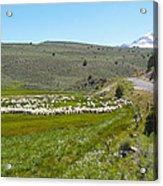 A Flock Of Sheep 2 Acrylic Print