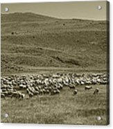 A Flock Of Sheep 4 Acrylic Print by Philip Tolok
