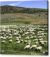 A Flock Of Sheep Acrylic Print