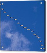 A Flock Of Snow Geese Chen Acrylic Print
