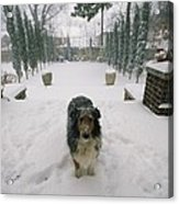 A Forlorn And Snow-dusted Sheltie Acrylic Print