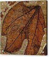 A Fossilized  Sassafras Leaf Acrylic Print