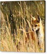 A Fox In A Field Acrylic Print