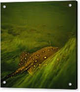 A Freshwater Stingray Swims In A Meadow Acrylic Print