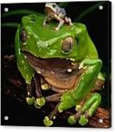 A Frog Phylomedusa Bicolor Perched Acrylic Print