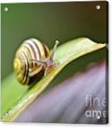 A Garden Snail Climbing On A Green Leaf  Acrylic Print