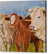 A Gathering Of Cows Acrylic Print