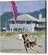 A German Shepherd Leaps For A Kite Acrylic Print