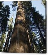 A Giant Redwood In The Mariposa Grove Acrylic Print