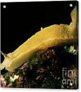 A Giant Yellow Chromodoris Acrylic Print by Sami Sarkis